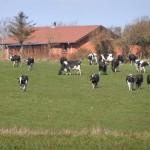 Køerne ud april 2012 009